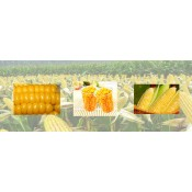 Sweet Corn Series (6)